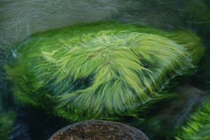 zwembad algen